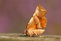 Early Thorn - Selenia dentaria