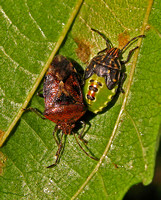 Parent Bug - adult and nymph