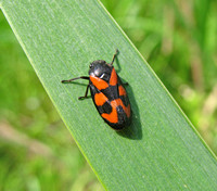 Black and Red Froghopper - Cercopis vulnerata