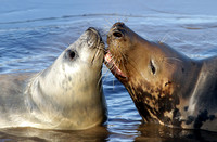 Grey seals - Halichoerus grypus