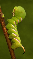 Privet Hawkmoth caterpillar - Sphinx ligustri