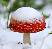 Fly Agaric in the snow