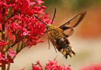 Broad-bordered Bee Hawkmoth - Hemaris fuciformis