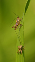 Roesel's Bush Crickets - Metrioptera roeselii