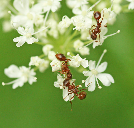 Ants on Sweet Cicely