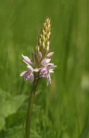 Common Spotted-orchid - Dactylorhiza fuchsii