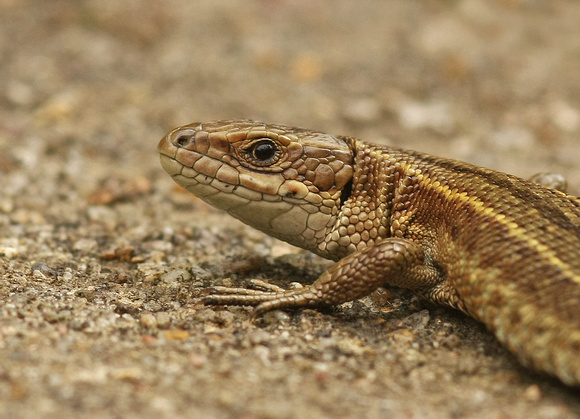 Common Lizard - Zootoca vivipara